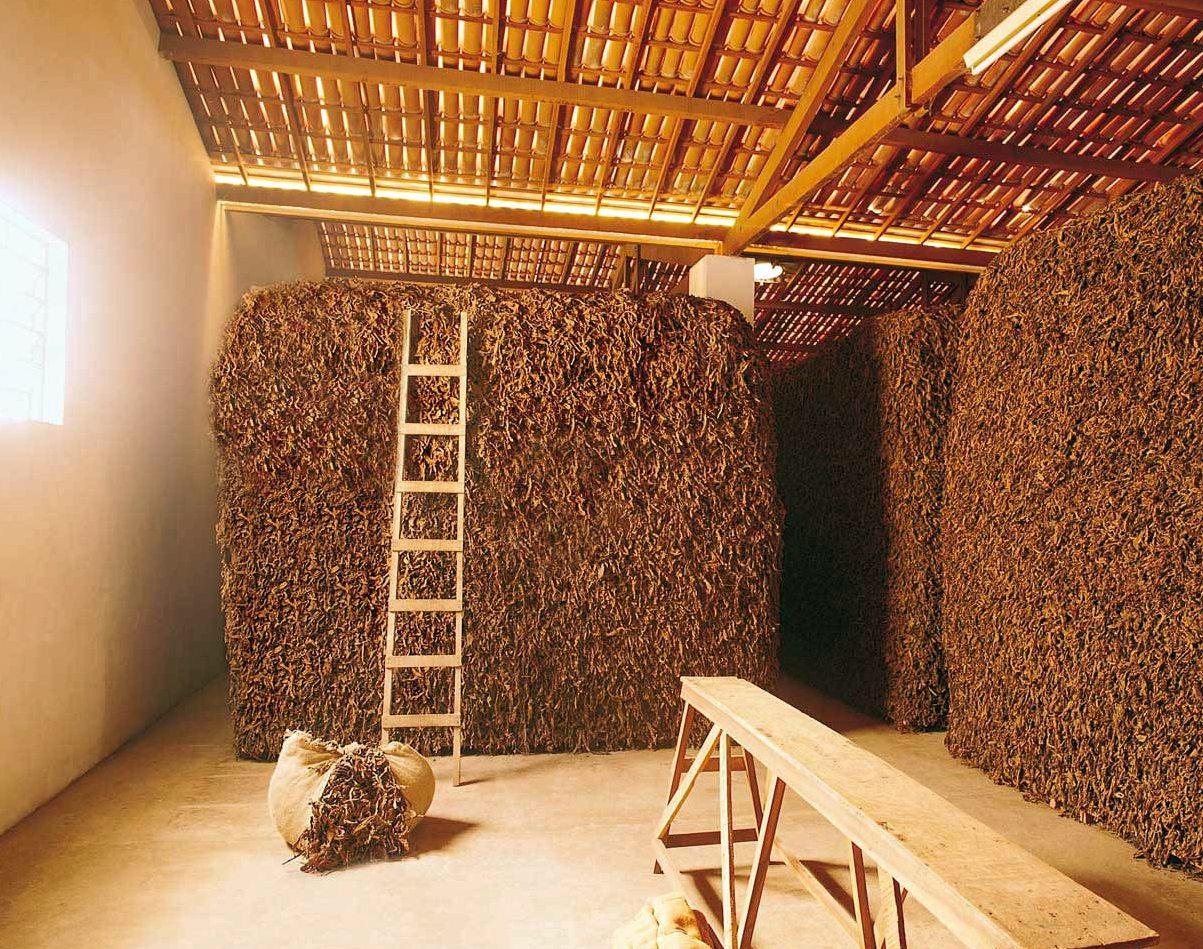 Как выращивать табак курительный в домашних условиях